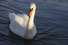 Cygne #13