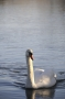 Cygne #18
