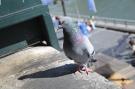 Pigeon #4