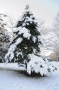 Sapin neige #10