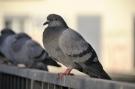 Pigeon #2