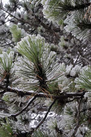 Branche sapin neige #5