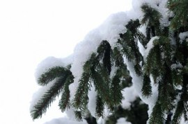 Branche sapin neige #6